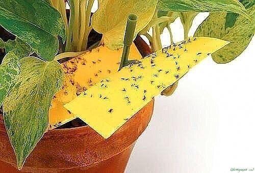 Способы избавления от мошек в цветочных горшках 2   Цветы ...
