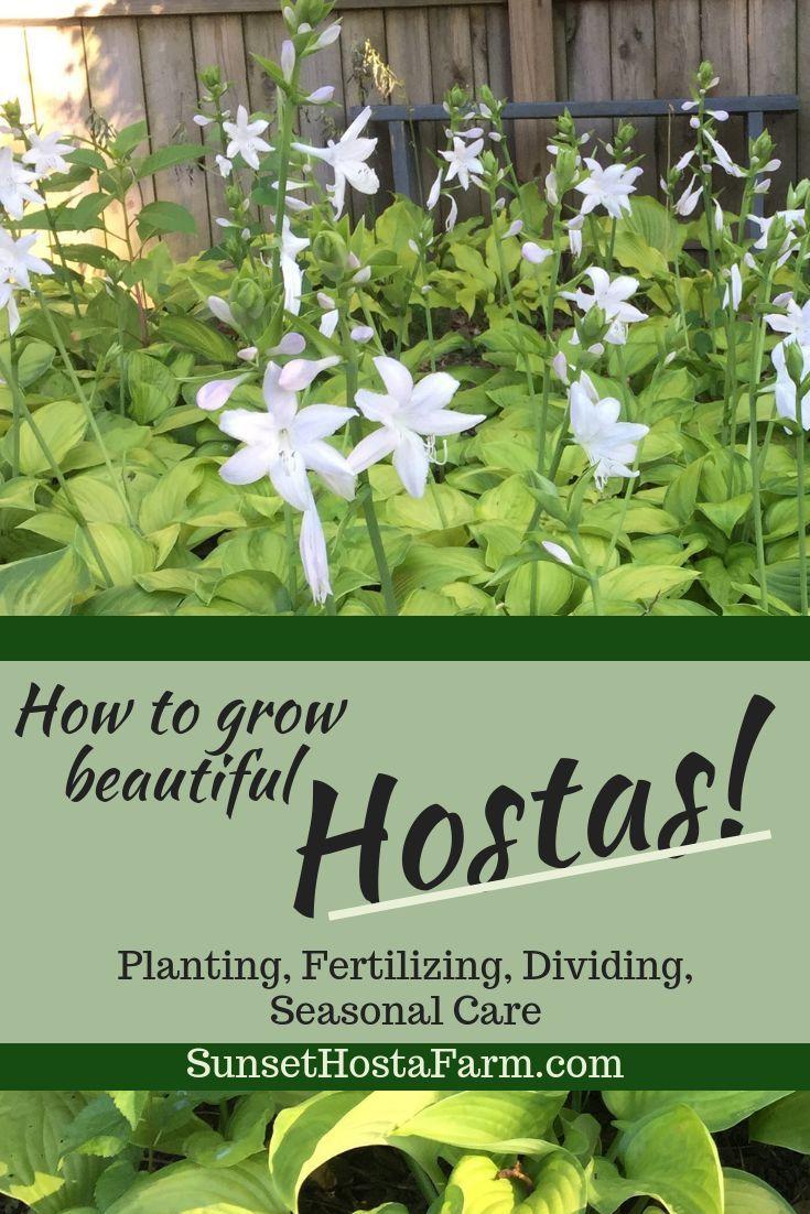 All About Hostas Hostas 101 Shade Gardening Garden Shade