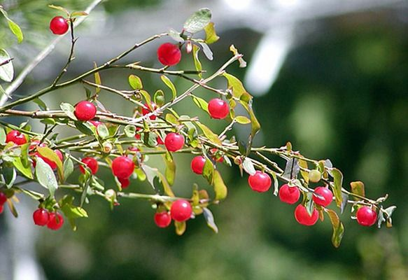 Red Huckleberry \ Vaccinium parvifolium. An Oregon native with delicious tart sweet edible berries.