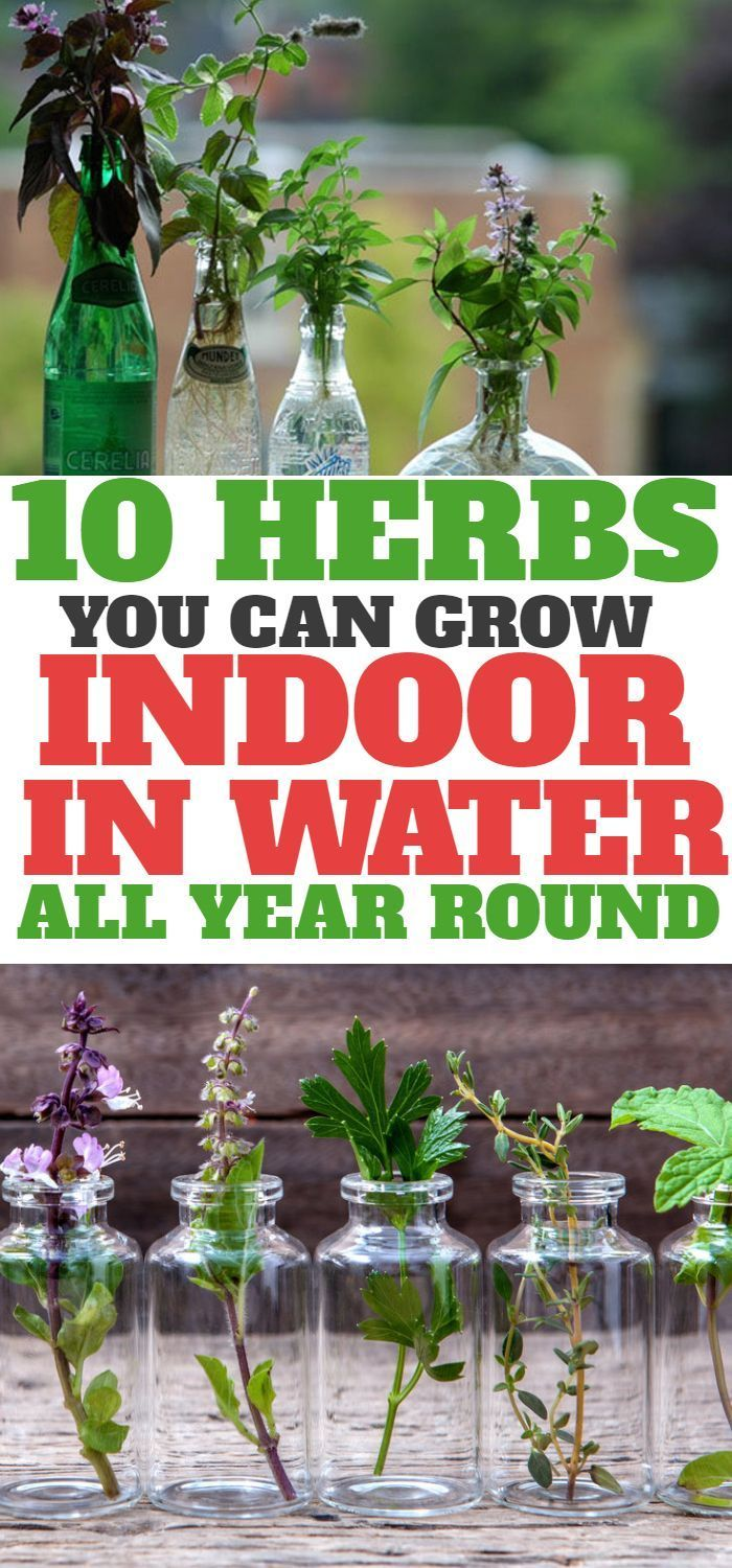 Herbs Grown In Water All Year Round Planting Herbs Indoor Water