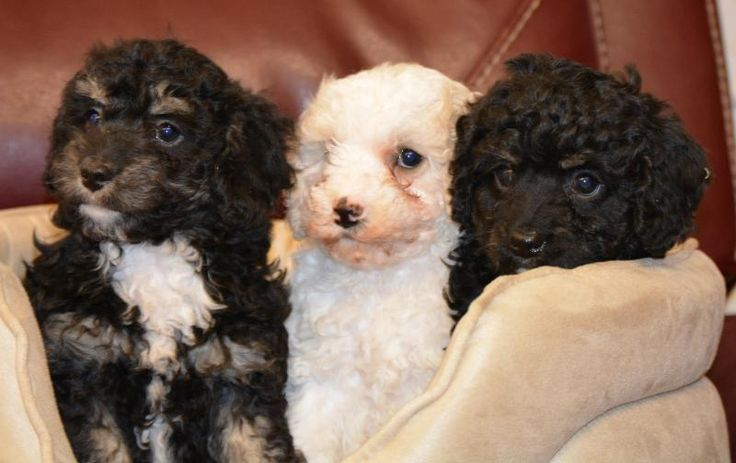 Curly Coated Cavapoo Babies - Designer and Cross Breed Puppies For Sale