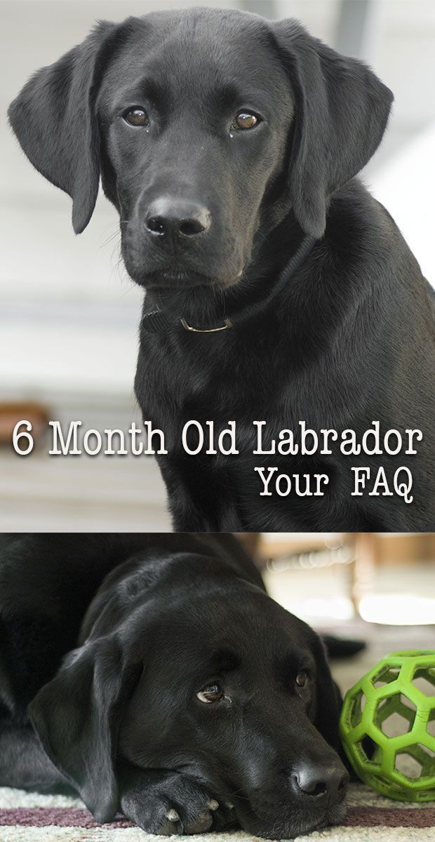Six month Labrador - Your Puppy Questions Answered