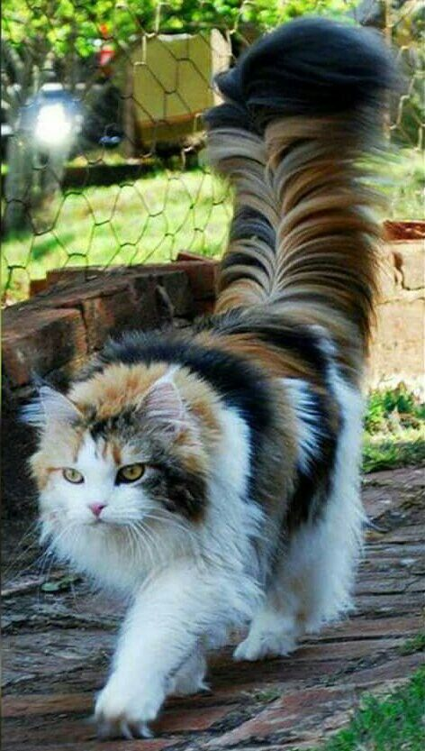 This is either a Maine Coon or a Norwegian Forest cat...beautiful!