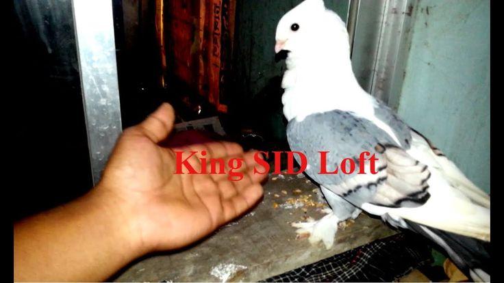 Best breeding fancy pigeon frillback pigeon loft shartain pigeon cage da...