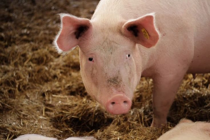 A tale of two pigs: which life would you choose? | World Animal Protection International