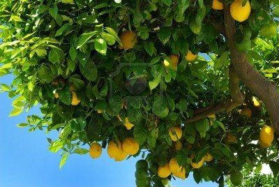 deze bomen groeien meestal in de mediterraanse landen