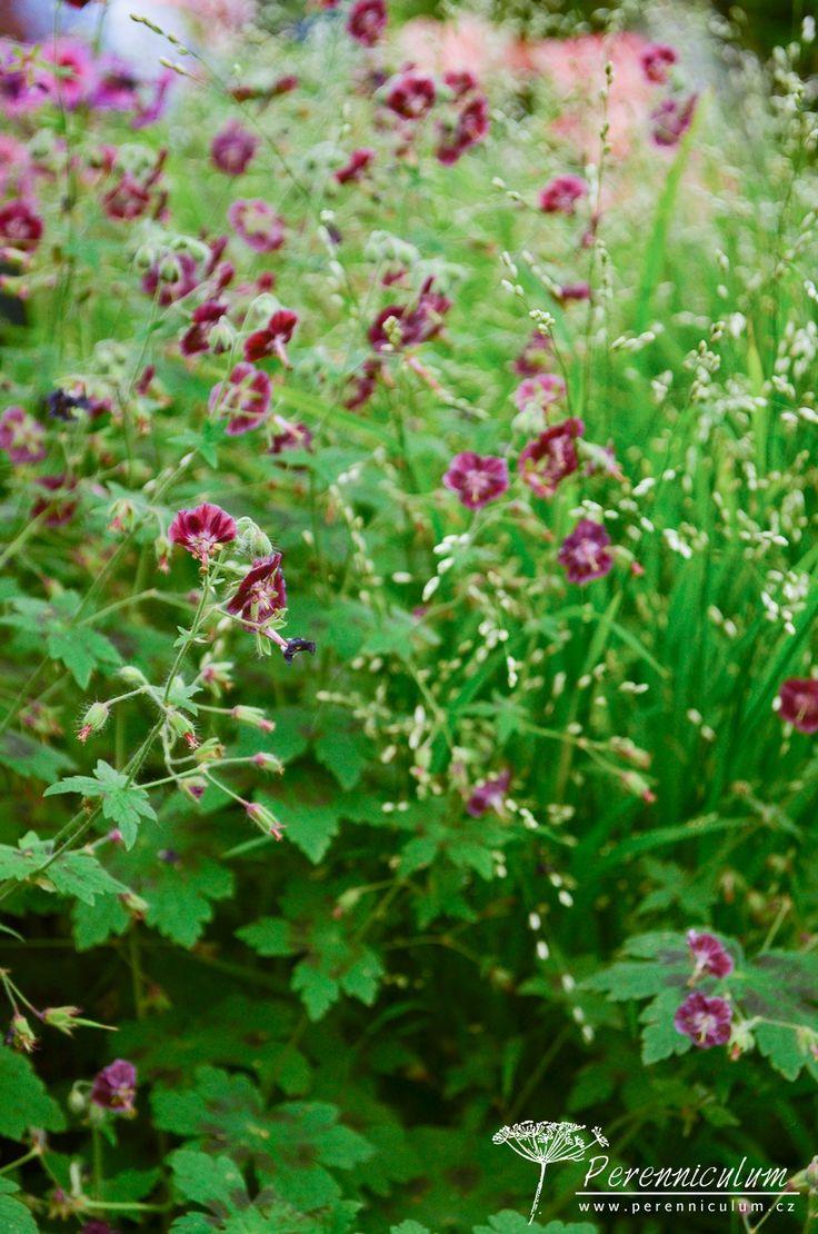 Geranium phaeum 'Samobor' je kultivar velmi podobný původnímu druhu s nícími, tmavě bordó květy, liší se však nápadnou, čokoládově hnědou skvrnou na...