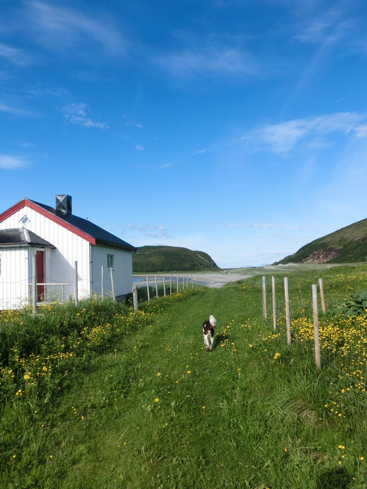 Billy the springer spaniel -heading for the Beach on the island of Loppa, Northern Norway