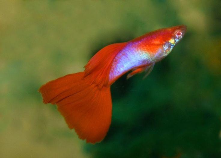 Pair Of Japan Blue Red Tail Albino Guppy Show Livebearer Ebay Guppy Guppy Fish Aquarium Fish