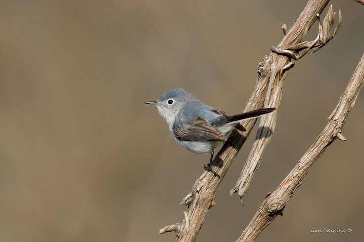 https://flic.kr/p/T5A16K | Blue-gray Gnatcatcher on a vine | Unwittingly, today's theme appears to be: birds on things..