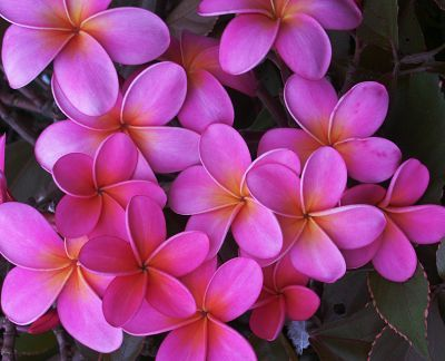 Google Image Result for http://www.tropicalgardensofmaui.com/images/sunsetplum3.jpg