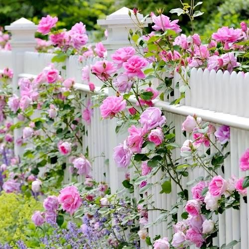 Pink Roses and a White Picket Fence                                                                                                                                                                                 More