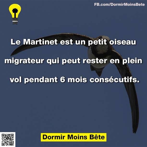 Le Martinet est un petit oiseau migrateur qui peut rester en plein vol pendant 6 mois consécutifs.