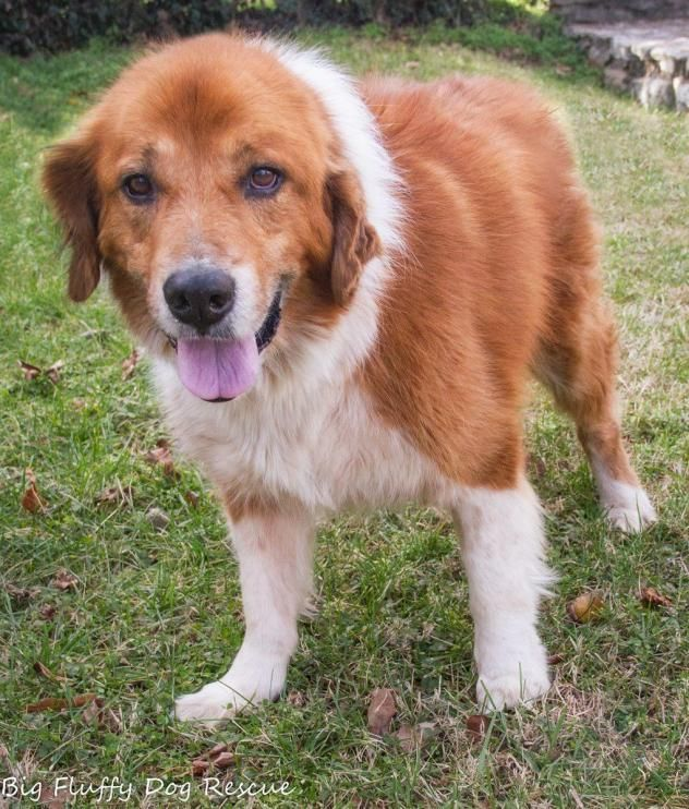 Hero Collie Golden mix 10 years old...BIG FLUFFY DOG RESCUE