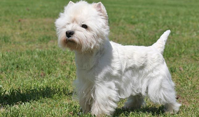 Everything you want to know about West Highland White Terriers including grooming, training, health problems, history, adoption, finding good breeder and more.