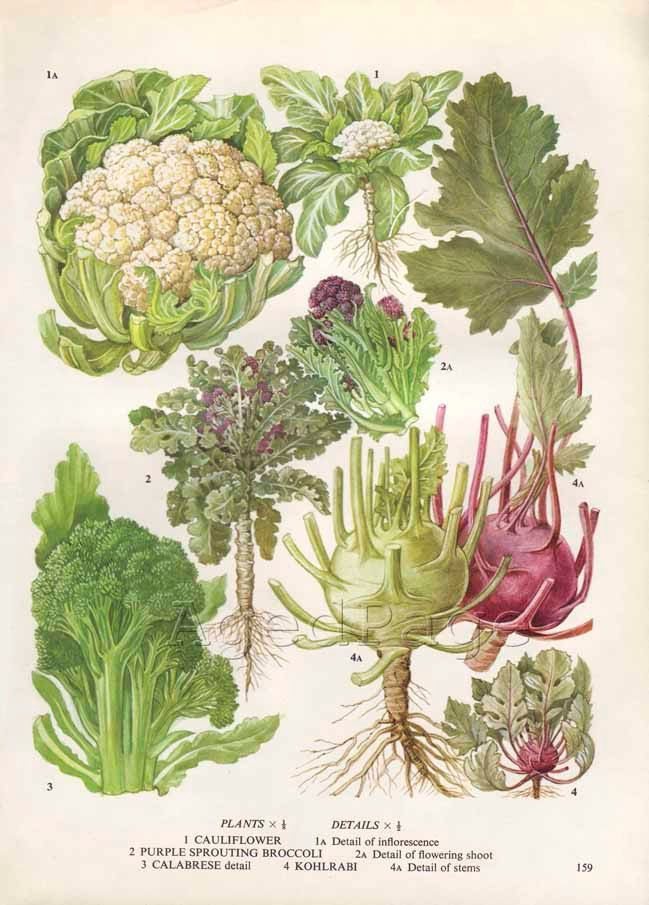 Vintage Vegetable Botanical Print, Food Plant Chart, Art Illustration, Wall Decor, Cauliflower, Broccoli
