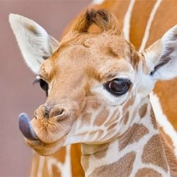 Five zoos for visiting baby giraffes.