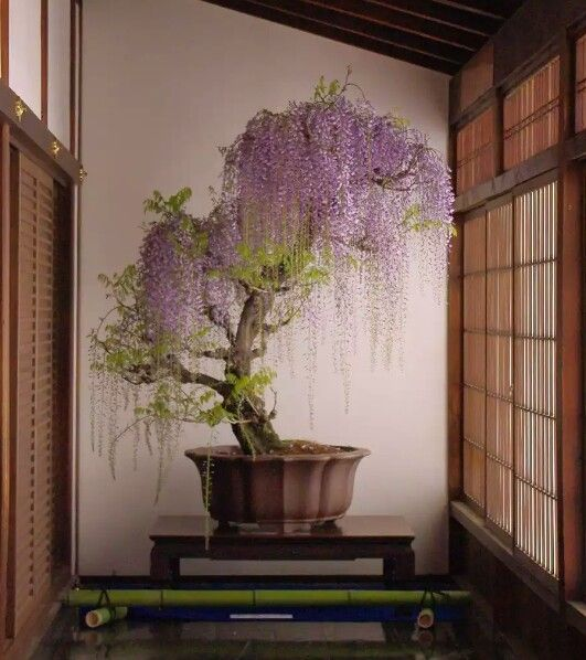 My NEW favorite bonsai! Its a wisteria tree & looks kinda big for bonsai standards. So I guess I can declare this is my fav big bonsai. That way the Jap Maple can remain my dream/favorite bonsai.