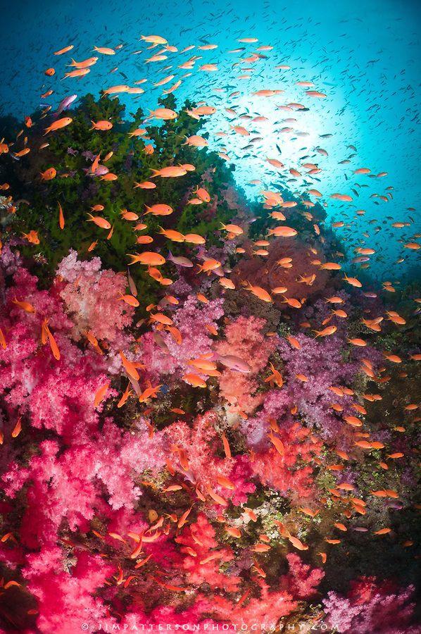 Underwater image in Fiji of soft coral reef with schooling Anthias. http://jimpatterson.photoshelter.com/gallery-image/Fiji-Underwater/G0000KE2PRyvrON8/I0000xgbWtMaKBlg