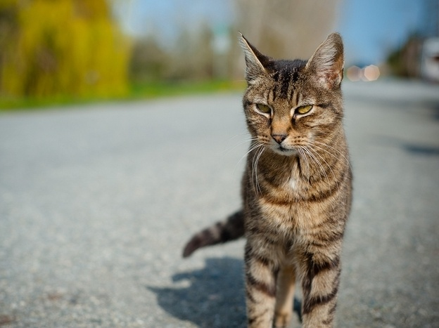 The genetic factors responsible for a cat's stripes might help researchers understand disease resistance in humans.: Disease Resistance, Cat S Stripes, Cats Stripes, Cute Cats, Animal Facts, Factors Responsible, Cat Facts, Genetic Factors, Kitty
