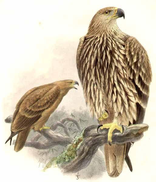 Aigle impérial - Aquila heliaca