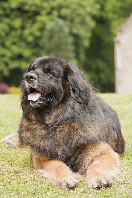 Giant Leonberger Dog