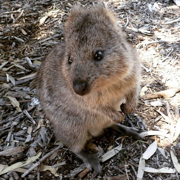 #Quokka #cute #australia #rottnest