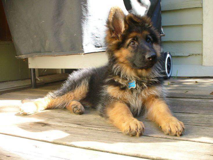 Long haired German shepherd pup