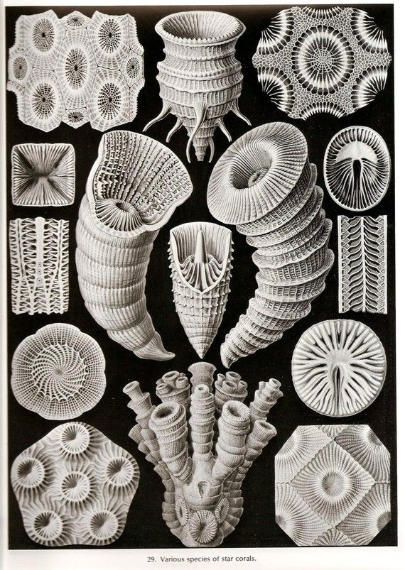Ernst Haeckel Star Corals Art Print Beautiful Frameable Collectable Vintage 1974…