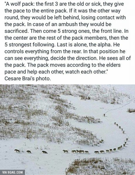 How a wolf pack moves...look close and take note the leader is last and sick and old set thepace...