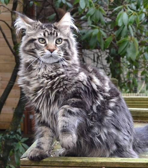 """Youngster..... K'Romeo Silvi-Cola*PL. Brown Classic Tabby. Polish Import. Romeo not bothered by anything. """"He has the look and type I love.  He is going to be a super adult."""" Romeo 5.5 mths 16/02/15"""