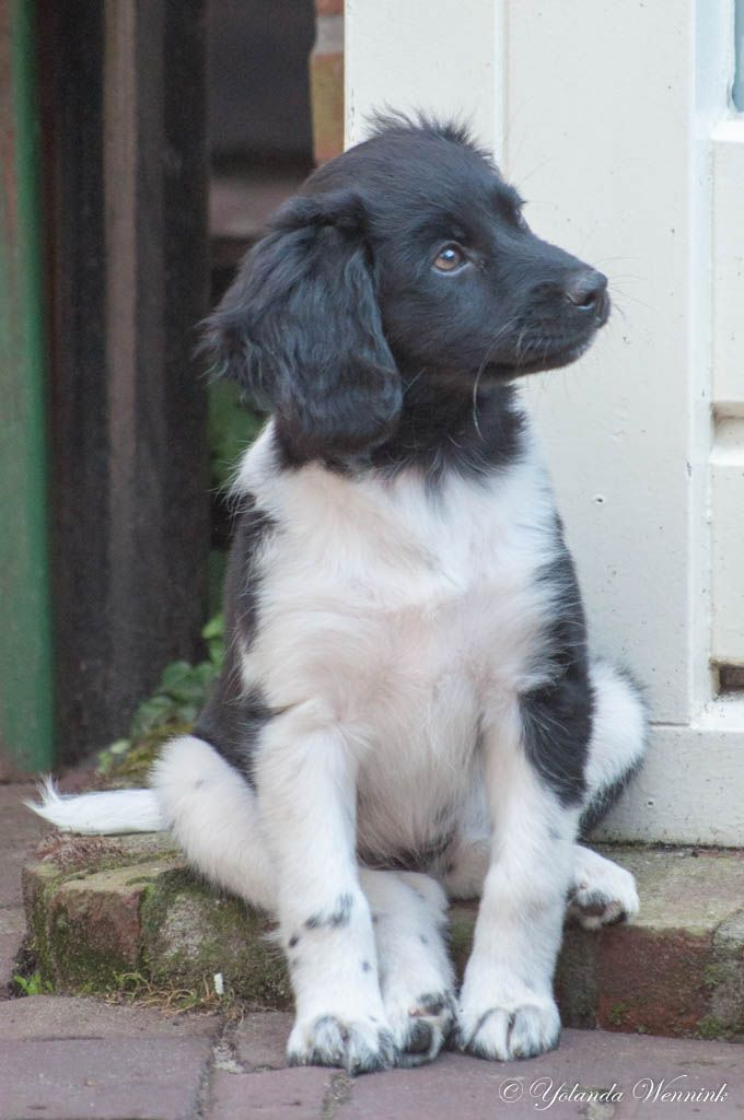 puppy frisian pointer Kom Achterom