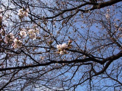 甲府で桜が咲き始めました。まだまだ満開はこれからです。