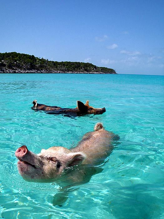 Swimming pigs, The Bahamas. Photo by cdorobek... I wanna see this!