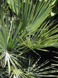 Blue Form Mediterranean Fan Palm Chamaerops humilis 'Cerifera'