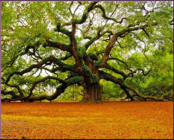 A living Angel Oak, approx 1200 yrs old, on St. John's Island outside of Charleston S. C.: Old Trees, Nature, Southcarolina, Angeloak, Beautiful, Angel Oak Trees, Places, Photo, South Carolina