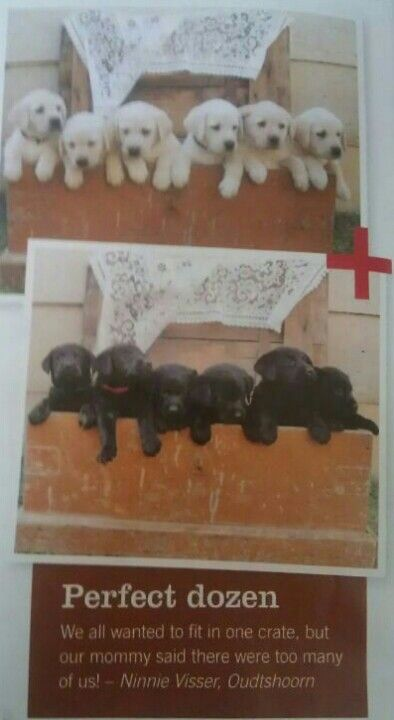 Our Koda is famous - his mom gave birth to a litter of 12 gorgeous puppies! Photographed in the November issue of @TuisHome_mag