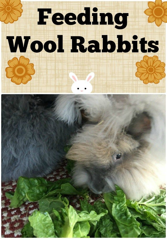 Find out what you should be feeding your woolly Angora rabbits to keep them in…