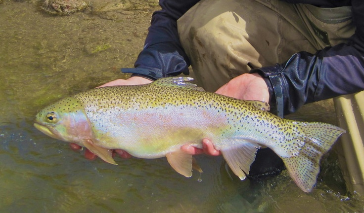 17 best images about trout on pinterest arizona fly for Best fishing in arizona