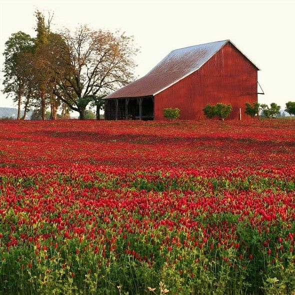 Now is the time to plant Crimson Clover. Spring or fall, any zone from 3 to 10, now is the perfect time. Crimson Clover smells lovely and blooms strawberry-red flowers in spring. Probably the pretties
