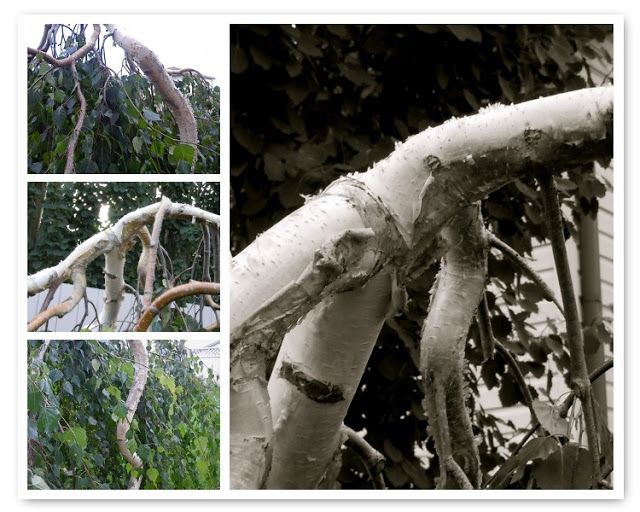 LIVING THE GARDENING LIFE: In the Spotlight:  Young's Twisted Birch
