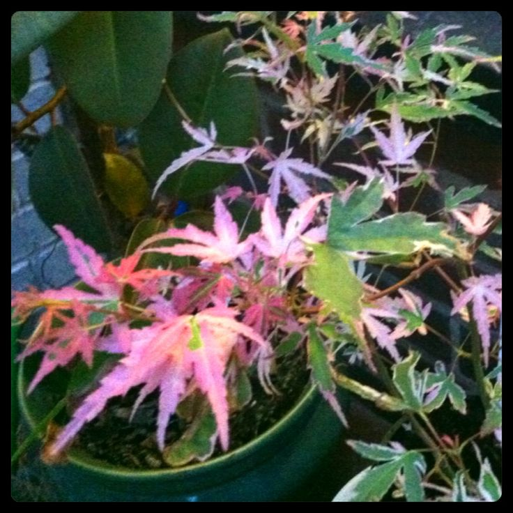 Japanese Acer changing colours from green to pink