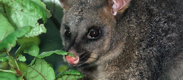 NOT NATIVE TO NEW ZEALAND Aussie import that some idiots let loose years ago when the fur market collapsed. Now it is destroying our native Fauna and Flora .It is a widespread PEST that's destroying our native bush it also eats eggs baby birds bats just about anything THIS PEST has to be eradicated