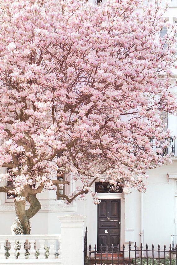 London Photography Magnolia Notting Hill Pink Blossom Tree England Travel Photo Large Wall Art Home Decor Pink Blossom Tree Blossom Trees Pink Blossom