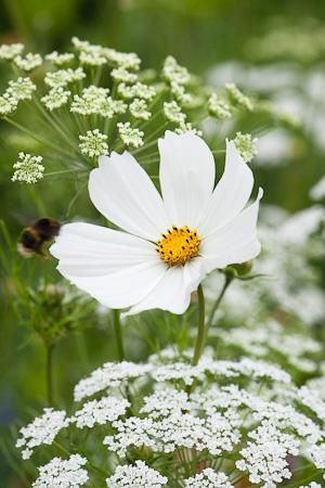 Bee landing on Cosmos bipinnatus 'Purity' with Ammi majus (Bishop's Flower) in the meadow at Perch Hill