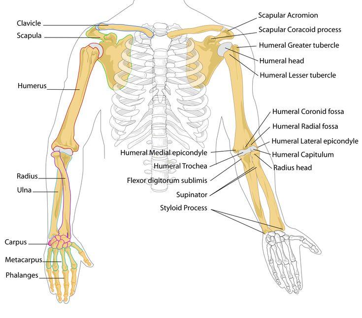 File:Human arm bones diagram.svg