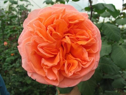 Coral Garden Rose 64 best garden roses images on pinterest | garden roses, pink