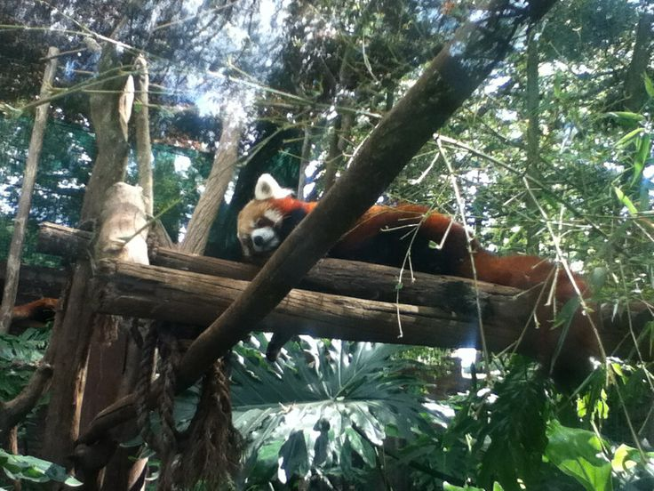 The Beautiful Red Panda resting at Johannesburg Zoo