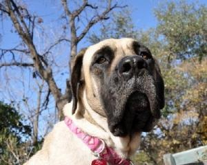 Moose - Looking for a forever home through Great Plains Mastiff Rescue