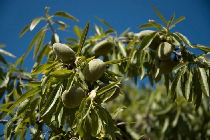 Meglepően könnyű mandulafát nevelni